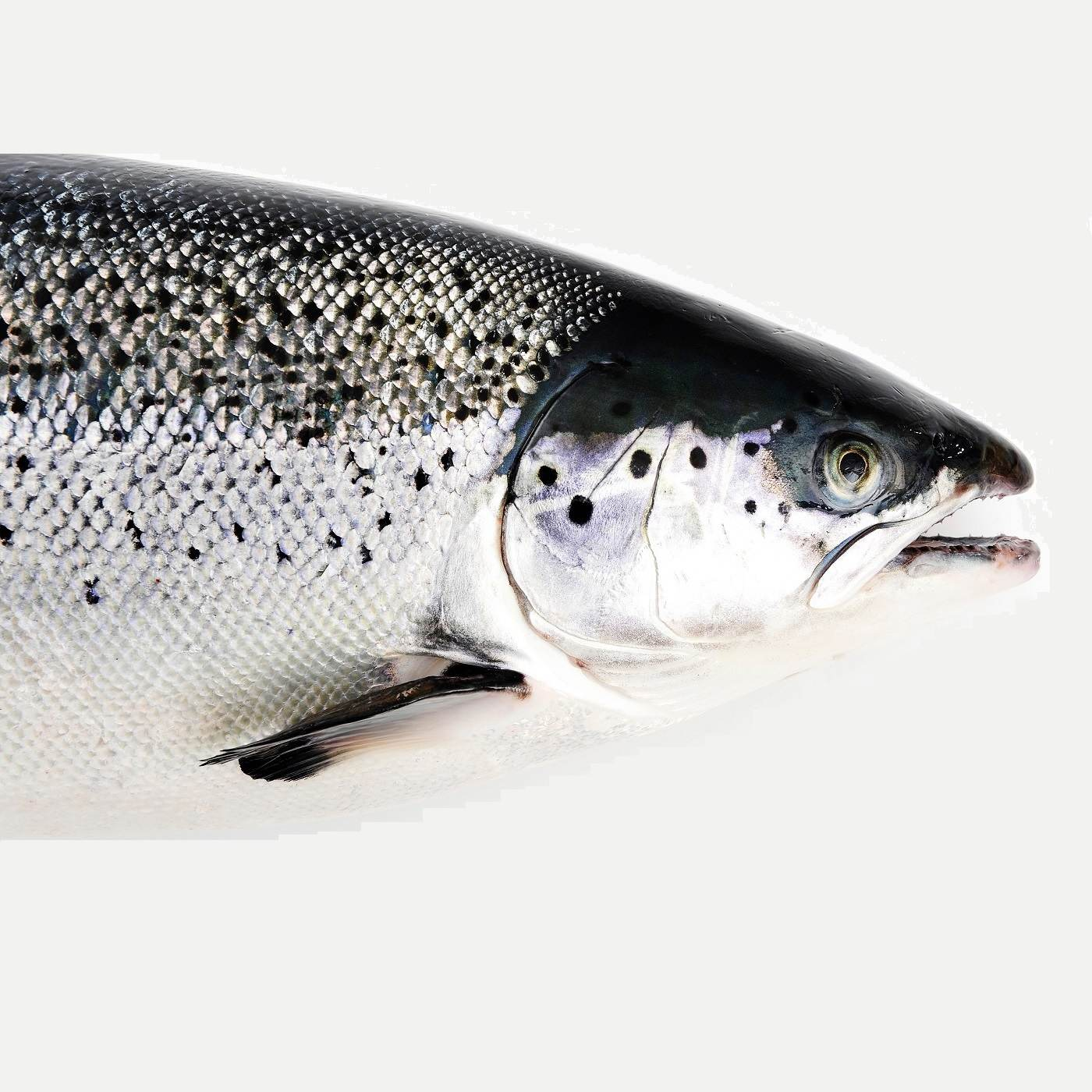 Air Flown Norway Fresh Salmon Whole Head On Face.jpg