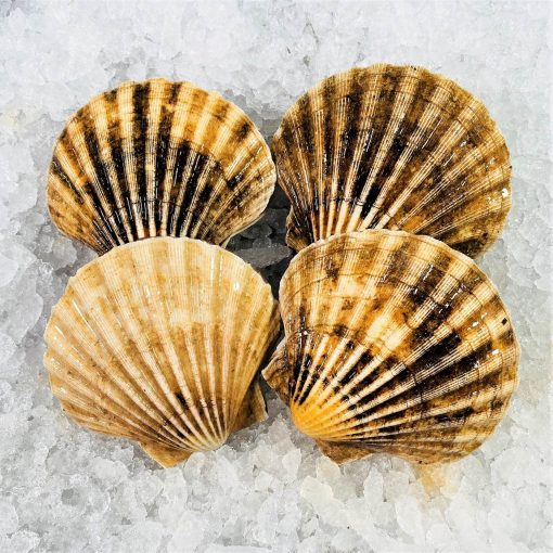 Air Flown Scotland Fresh Diver Scallop Whole Shell On 9cm 12cm Back