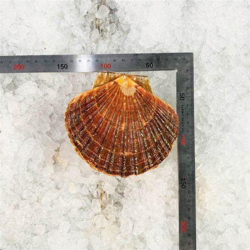 Air Flown Scotland Fresh Diver Scallop Whole Shell On 9cm 12cm Ruler