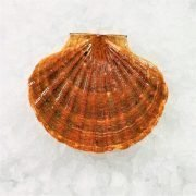 Air Flown Scotland Fresh Diver Scallop Whole Shell On 9cm 12cm Front 1pc