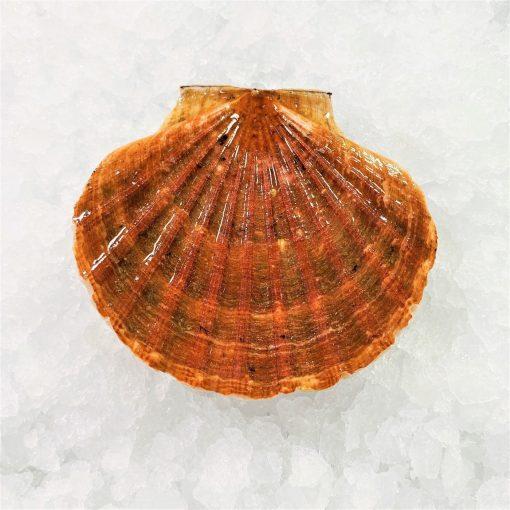 Air Flown Scotland Fresh Diver Scallop Whole Shell On 9cm 12cm Front 1pc