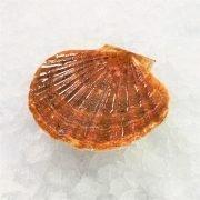Air Flown Scotland Fresh Diver Scallop Whole Shell On 9cm 12cm Front 1pc Diagonally