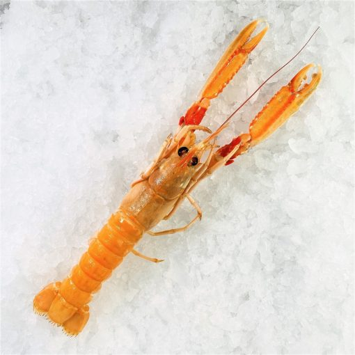 Air Flown Netherland Fresh Langoustine Scampi Norway Lobster Whole Shell On 1pc