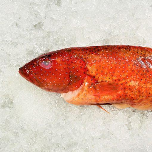 Local Frozen Fish Indonesia Red Grouper Unpack Zoom