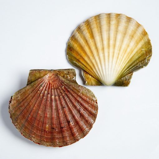 Air Flown Scotland Fresh Diver Scallop Whole Shell On 9cm 12cm Shell